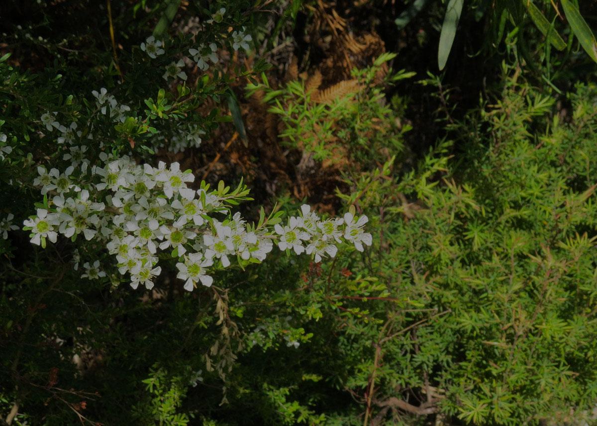 Australian manuka flower bush